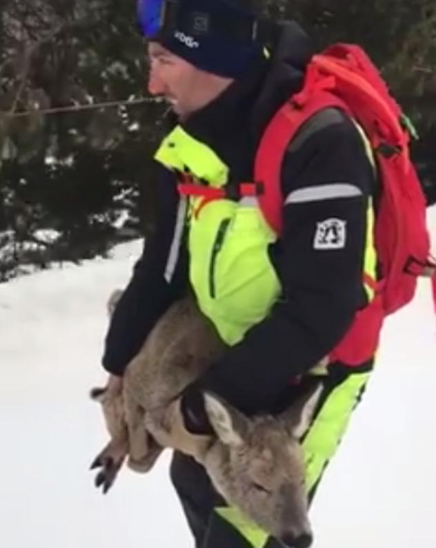 El equipo de seguridad de pistas de Baqueira Beret rescata un pequeño ciervo en la pistas